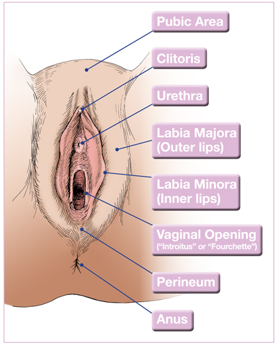 some facts about the vulva - essential information | caredownthere, Human Body